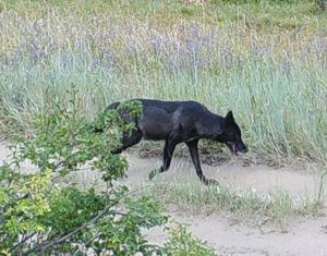Black wolf - A picture of a black wolf taken on a road in Valley County, Idaho.