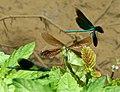Blauflügel Prachtlibellen vor der Paarung 03.jpg