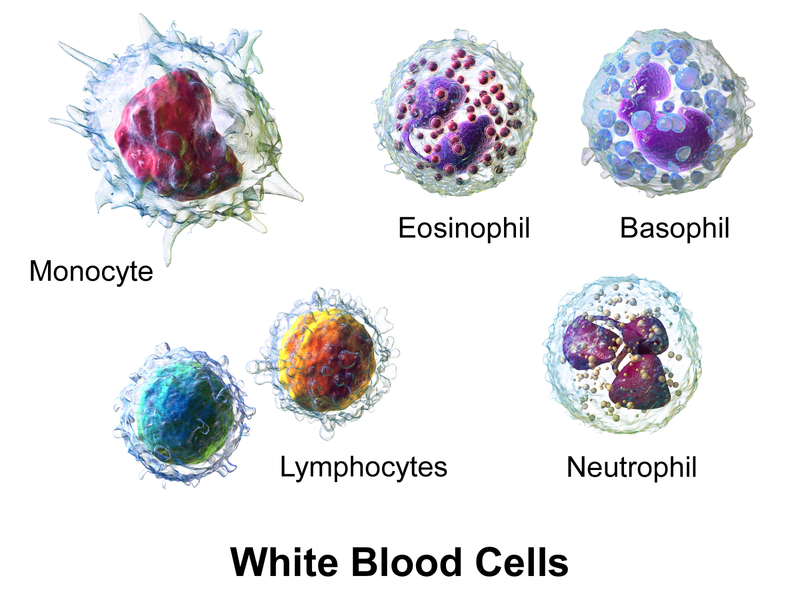 Frequencies Of Cell Types In Human Peripheral Blood Ze Brein