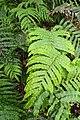 Blechnum novae-zelandiae kz01.jpg