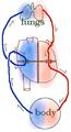 Blood circulation (human).png