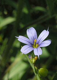 Blue-eyed Grass (Sisyrinchium angustifolium).jpg