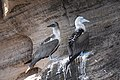 Blue-footed Boobies (46861883665).jpg