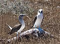 Blue-footed boobies (47945195838).jpg
