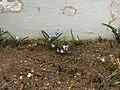 Blue.flowers.2127.JPG