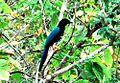Blue Jay Belize.jpg