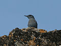Blue Rock Thrush (Monticola solitarius)- Male in Bhongir, AP W IMG 3044.jpg