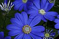 Blue daisy flower 1.jpg