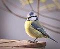 Blue tit (38410515751).jpg