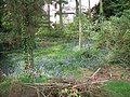 Bluebell garden, Omagh - geograph.org.uk - 429636.jpg