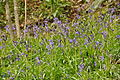 Bluebells in Seaton Valley Countryside Park (3007).jpg