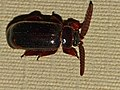 Bombardier Ant's Guest Beetle (Cerapterus laceratus) (13972751176).jpg