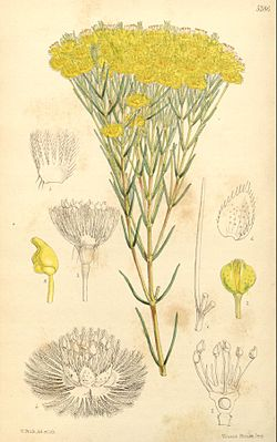 Verticordia nitens, Illustration