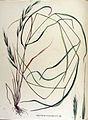 Brachypodium sylvaticum — Flora Batava — Volume v15.jpg