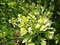 Brassica nigra 'Black Mustard' (Cruciferae) flowers.JPG