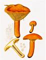 Bresadola - Lactarius aurantiacus.png
