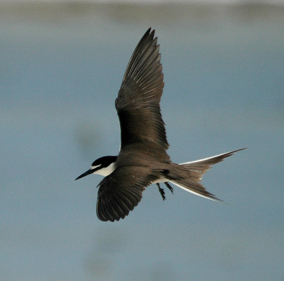 Bridled Tern flight LEI jan08