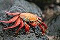 Bright red and orange crab on rocks 02.jpg