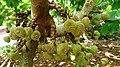 Broad-leaf Fig (Ficus auriculata).jpg