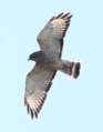 Broad-winged Hawk.png