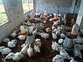 Broiler Chickens 002.jpg