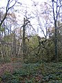 Broken tree in Crackley Wood - geograph.org.uk - 1037931.jpg