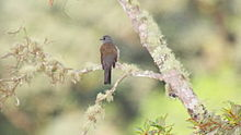 Brown-backed Solitaire (Myadestes occidentalis) (5783213329).jpg
