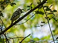 Brown-capped Pygmy Woodpecker (23871972310).jpg