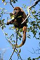 Brown Howler Monkey.jpg