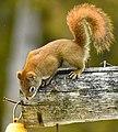 Brown Squirrel, Drummond Island, Michigan.jpg