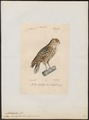Bubo ascalaphus - 1842-1848 - Print - Iconographia Zoologica - Special Collections University of Amsterdam - UBA01 IZ18400105.tif