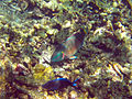 Buck Island Reef National Monument parrotfish.jpg