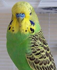 Periquito-australiano(plumagem natural)