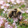 Bumblebee (Male Bombus pratorum?) on oregano, Sandy, Bedfordshire (9335546413).jpg