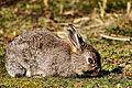 Bunny - RSPB Sandy (32536781304).jpg