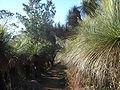 BunyaMtns-Grasstrees.jpg