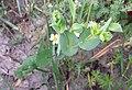 Bupleurum rotundifolium sl1.jpg
