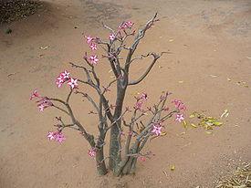 Кларкия посадка уход цветы 48