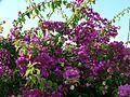 Bush with purple flowers.jpg