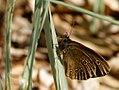 Butterfly (17498749216).jpg