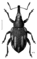 COLE Curculionidae 6.png