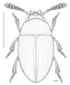 COLE Leiodidae Isocolon hilare.png