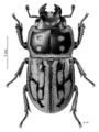 COLE Lucanidae Paralissotes reticulatus.png