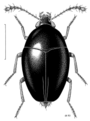 COLE Staphylinidae Brachynopus scutellaris 1.png