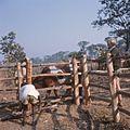 COLLECTIE TROPENMUSEUM Harm de Boer jaagt een os de kraal in TMnr 20039279.jpg
