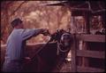 COW ON A FARM NEAR LEAKEY, BEING DE-HORNED. NEAR SAN ANTONIO - NARA - 554949.tif