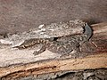 CSIRO ScienceImage 1693 A Gecko.jpg