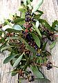 CSIRO ScienceImage 4022 Leaves and Berries of the Mountain Pepper Tasmannia lanceolata.jpg