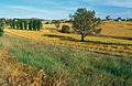 CSIRO ScienceImage 4591 Canola crop during harvest on farm near Binalong NSW.jpg
