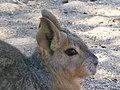 Cabeza de Mara (Dolichotis patagonum).jpg